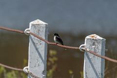 ashleyreservoir2019-53 (gtxjimmy) Tags: nikond7500 nikon d7500 tamron 150600mm ashleyreservoir holyoke massachusetts spring newengland bird easternkingbird