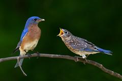 Eastern Bluebirds (Sialia sialis), Williamson County, Tennessee (kmalone98) Tags: wildlife easternbluebird thrushes sialiasialis turdidae aves babybluebird kathymaloneflickr kmalone98 flickr