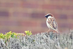 Back Yard Sparrow (Simon Downham) Tags: sparrow fujinon 50140mm 50140 fuji zoom back yard hedge