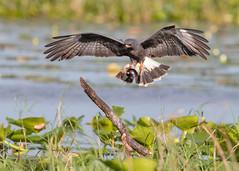 Snail Kite (PeterBrannon) Tags: bird florida kite nature raptor rostrhamussociabilis snailkite talons wildlife birdinflight snail snailinbeak sunrise