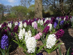 Lombard, IL, Lilacia Park, Hyancinth Flower Bed (Mary Warren 13.6+ Million Views) Tags: lombardil lilaciapark spring garden flora plant bloom blossom flower white pink blue maroon purple trees nature park