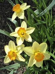 Lombard, IL, Lilacia Park, Yellow Daffodil Quartet (Mary Warren 13.6+ Million Views) Tags: lombardil lilaciapark spring garden flora plant bloom blossom flower park nature yellow daffodils