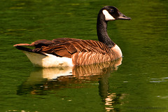 Canadian_Snow_Goose_02 (DonBantumPhotography.com) Tags: wildlife nature animals birds goose canadiansnowgoose donbantumphotographycom donbantumcom