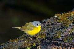 Nashville (jmishefske) Tags: wehr wisconsin warbler nikon park nashville nature bird d500 center whitnall milwaukee 2019 franklin april
