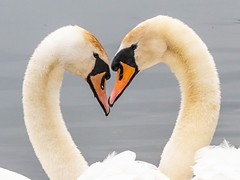 All You Need is Love........ (Meddie47) Tags: swans white waterfowl heart pairs