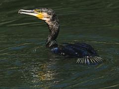 Cormoran mouillé (Jean-Marc Linder) Tags: oiseau eau cormoran coth coth5