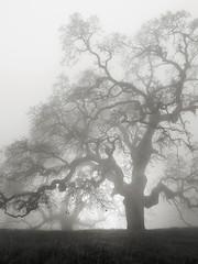 Hunting Hollow Fog Series 2 (StefanB) Tags: 1235mm 2019 californa em5 fog henrycoe hiking mood tree treescape outdoor statepark huntinghollow