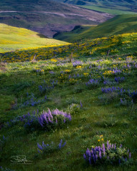 Illuminated Lupine Bouquets (TierraCosmos) Tags: columbiahills columbiarivergorge washington lupine balsamroot wildflowers flowers sunset hills landscape field meadow spring