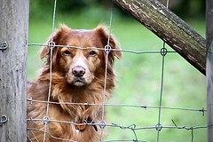 hjordis (delnaet) Tags: toller chien dog hond fence hek pet animal perro