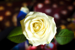 White rose (k009034) Tags: bokeh flora flower green indoors leaf petals plant rose table white
