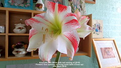 Amaryllis (6th White with red veining of 2019) Flowers now opening on living room table (Close up) 29th April 2019 (D@viD_2.011) Tags: amaryllis living room table 29th april 2019