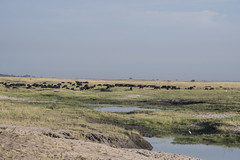 DSC_3072_1 (Marshen) Tags: capebuffalo botswana