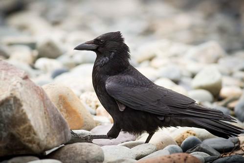 Crow at Abereiddy