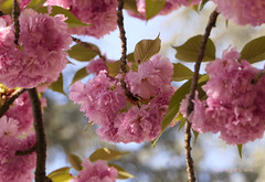Pink Blooming ... (MargoLuc) Tags: cherry blossoms tree bokeh green leaves flowers springtime sunlight blue sky soft pastel