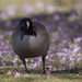 Canada goose with crocuses