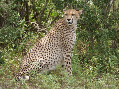 Cheetah Acinonyx jubatus (nik.borrow) Tags: mammal cheetah cat bigcat ndutu