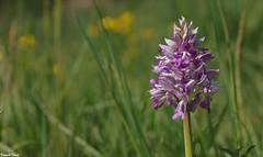 Orchidée Militaire - La Corne - Malans (francky25) Tags: orchidée militaire la corne malans orchids franchecomté doubs militaris flore