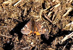 Harilik kevadvaksik (Archiearis parthenias). (Imbi Vahuri) Tags: imbivahuri insecta putukad lepidoptera liblikalised geometridae vaksiklased archiearis kevadvaksik estonia