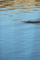 smooth sailing (Thunderwall) Tags: beaver animal wildlife wild mammal water river lake flow waves swimming aquatic photography tail alberta canada nikon d5300
