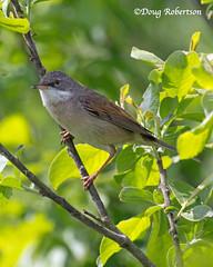 Whitethroat at RSPB Ham Wall (DougRobertson) Tags: whitethroat bird birdwatcher nature wildlife animal tree bush hamwall rspb