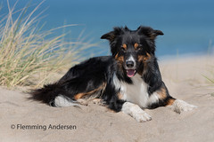 Yatzy (Flemming Andersen) Tags: yatzy dog hund outdoor bordercollie nature pet animal beach blue