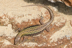 Wall Lizard (Podarcis muralis) (Sky and Yak) Tags: wall lizard commonwalllizard podarcis podarcismuralis muralis reptile uklizards uk basking bask bournemouth dorset nature naturalworld