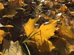 IMG_1687 (tombrewster6154) Tags: fallen colorful autumn leaves fall foliage pretty beautiful colors fiery hues tones grounded guilford college greensboro nc late november sunday thanksgiving weekend southern landscapes digital camera picture photograph photography lovely amazing 2018 grass blades sunlight illuminations morning sunshine dew moisture water daytime glory