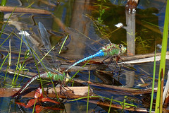 COMMON GREEN DARNER - LAKE COUNTY, OHIO 5/6/2019 (fstopfinatic) Tags: pointandshoot panasoniczs70 depthoffield bokeh closeup flowage water park scene nature outdoor serene lakecountyohio dragonfly odonata snakedoctor perch insect wings glossy lake pond bog marsh swamp
