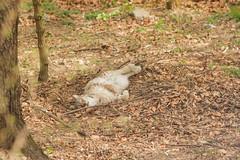 LInx. Lince. (Linx Linx). (omar.flumignan) Tags: felino spormaggiore parco fauna wildlife wild selvaggio selvatico natura trentinoaltoadige canon eos 7d ef70200f28lisusa linx lince parconaturalisticospormaggiore linxlinx