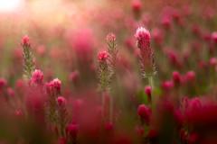 Strawberry candle field (Tomo M) Tags: ベニバナツメクサ crimsonclover flower plant light bokeh blur spring red trioplan