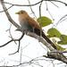 Squirrel Cuckoo, Piaya cayana Ascanio_Perija_GBD 199A0551