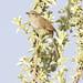 Perija Thistletail, Asthenes perijana Ascanio_Perija_GBD  199A9260
