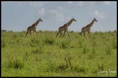 Giraffes (SpacePaparazzi.com) Tags: tanzania africa southeastafrica giraffes giraffe tarangire safari spacepaparazzicom