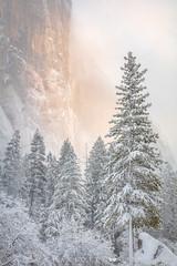 El Capitan Emerges (Charlotte Hamilton Gibb) Tags: elcapitan nationalpark winter yosemite yosemitevalley snow