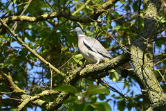Howden (70) (rs1979) Tags: woodpigeon woodpigeons howden eastyorkshire yorkshire ashesplayingfields