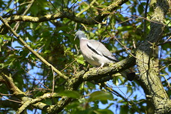 Howden (64) (rs1979) Tags: woodpigeon woodpigeons howden eastyorkshire yorkshire ashesplayingfields