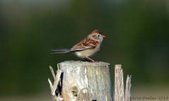 Field Sparrow (Arvo Poolar) Tags: outdoors ontario canada cardenontario arvopoolar bird fieldsparrow nature naturallight natural nikond7000 naturephotography
