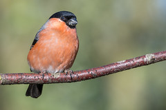 Bullfinch (sean4646) Tags: red