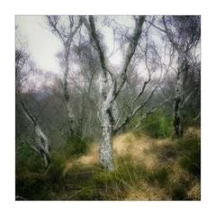 Torridon Trees (gerainte1) Tags: hasselblad501 provia100 film colour trees torridon scotland