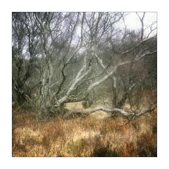 Torridon Trees (gerainte1) Tags: hasselblad501 provia100 film colour trees woodland torridon scotland