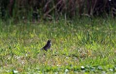 Song Sparrow (Melospiza melodia) (zeesstof) Tags: zeesstof shortbreak photoassignment texas island galvestonisland statepark galvestonislandstatepark nature wildlife bird songbird sparrow songsparrow songsparrowmelospizamelodia