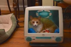 Jimmy in Bondi Blue comfort (rootcrop54) Tags: cc100 imac catbed recycle reuse upcycled jimmy orange ginger tabby male cat computer bondiblue neko macska kedi 猫 kočka kissa γάτα köttur kucing gatto 고양이 kaķis katė katt katze katzen kot кошка mačka gatos maček kitteh chat ネコ cc400