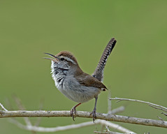 Bewick's wren (justkim1106) Tags: wren bewickswren texasbird texaswildlife texasnature songbird singingbird littlebrownbird
