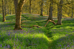 A carpet of bluebells (MilesGrayPhotography (AnimalsBeforeHumans)) Tags: sonyfe55mmf18za bluebellwood kinclaven bluebells spring britain ballathiebluebellwood ballathie golden woods forest kinclavenwoods ballathiewoods landscapephotography scottishlandscapephotography landscape outdoors photography scottishhighlands scottish scotland sonya7rii sony sonyilce7rm2 shadows trees perthandkinross perth town uk unitedkingdom village zeiss