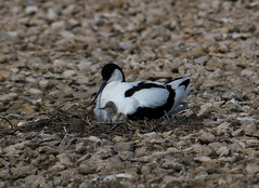 Avocet with chick (Photo Crazy Rob) Tags: 2018 birds d500 may nature nikon rc somerset steartmarshes wwtsteartmarshes wildlife avocet chick