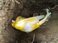 sleeping beauty (Chanyto's Cosplay) Tags: chanyto david lattuada mexico cdmx ave bird pajaro gorrion canario cafe tierra amarillo yellow brown earth death muerte