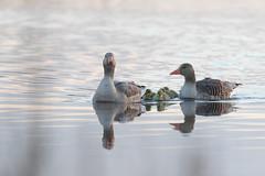 20190416_D57I4792 (Nis Lundmark Jensen) Tags: anseranser greylaggoose grågås lillevildmose