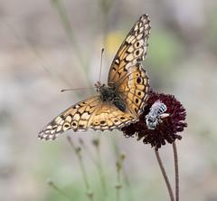 2019 - Day 122:  photo-bombing bee (Mark.Swanson) Tags: ranch utopia texas insect bee butterfly fritillary variegatedfritillary euptoietaclaudia flower