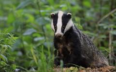 Badger (karlpriceps3) Tags: badger meles woodland mammal earth cub subterranean
