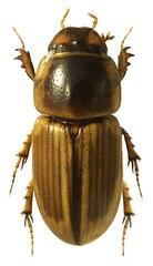 Aphodius lividus (dries.marais) Tags: coleoptera scarabaeidae aphodiinae aphodiini aphodius lividus